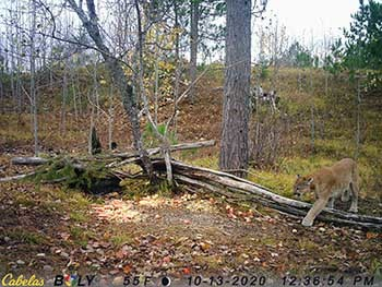 A daytime trail camera image shows a cougar at a baiting site in the Upper Peninsula.