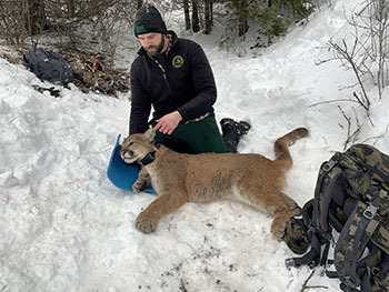 Cody Norton, the DNR's large carnivore specialist, places a tracking collar on a cougar in Idaho.
