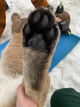 A close-up image of a cougar's paw is shown.