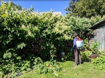 A worker sprays pesticide on a Japanese knotweed shrub