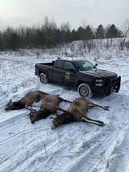 Three elk cows poached in Otsego County in 2019 are shown.