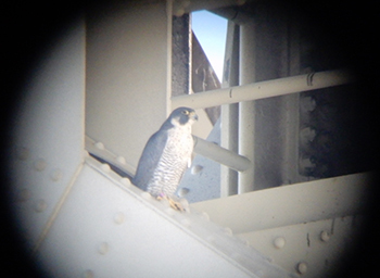 A peregrine falcon, photographed perched on the Portage Lake Lift Bridge, is shown.