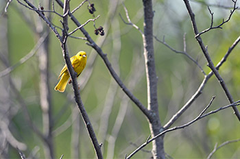 A male yellow warbler sings from a wetland area in Marquette County.