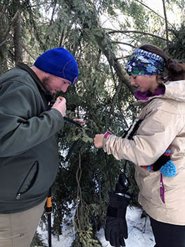 Workers search for hemlock wooly adelgid, an invasive species that damages hemlock trees.