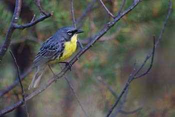 A male Kirtland's warbler is shown, one of Michigan's successes in recovering threatened and endangered species.