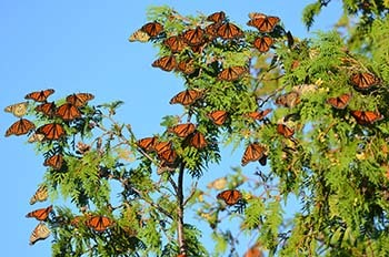 Monarch butterflies are shown grouped together on fall migration at Peninsula Point in Delta County.