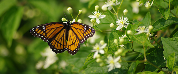 Monarch butterfly on a plant with small white flowers