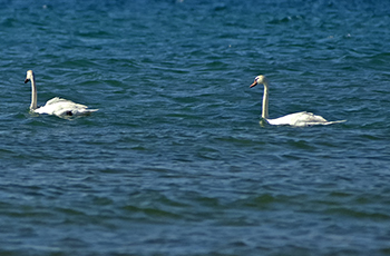A pair of mute swans is shown on Lake Michigan at Leelanau State Park.