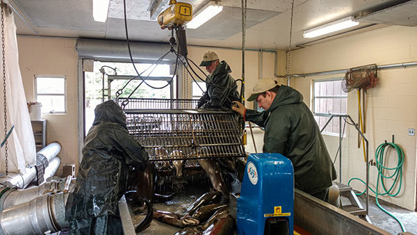 Fish being sorted at the Lower Manistee River Weir and Egg Collection Facility in Manistee County.