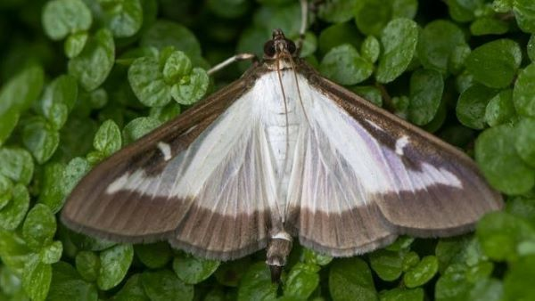 A gray box tree moth rests on a green, leafy background. The moth has white and brown markings.