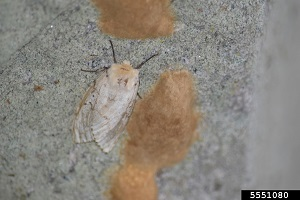 A white, one inch long gypsy moth on a tree trunk near some brown, fuzzy, somewhat oval-shaped egg masses.