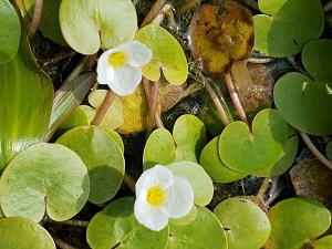 A closeup of European frog-bit stems and leaves atop the water, featuring two white, three-petaled flowers with yellow centers.