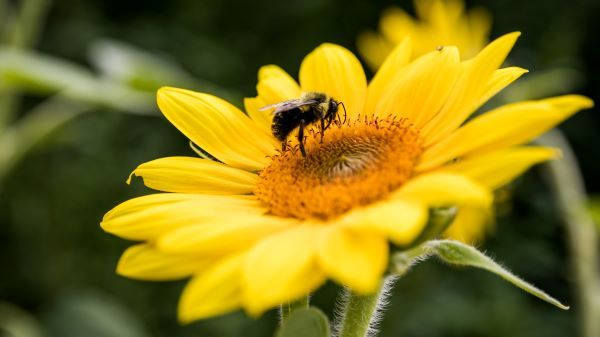 A fuzzy bee perches on a yellow flower with an orange center.