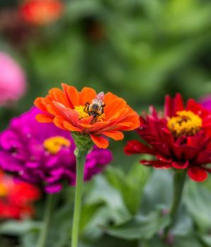A bee alights on an orange flower with a yellow center; other flowers sway in the breeze on a leafy green background