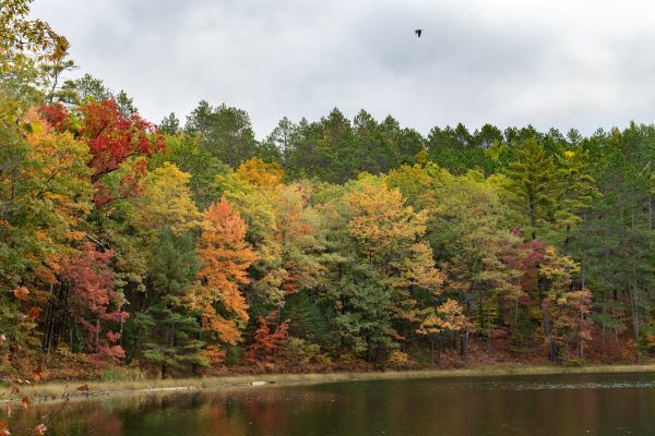 Colorful autumn trees on the shore line of a waterway; a bird flies in the air above