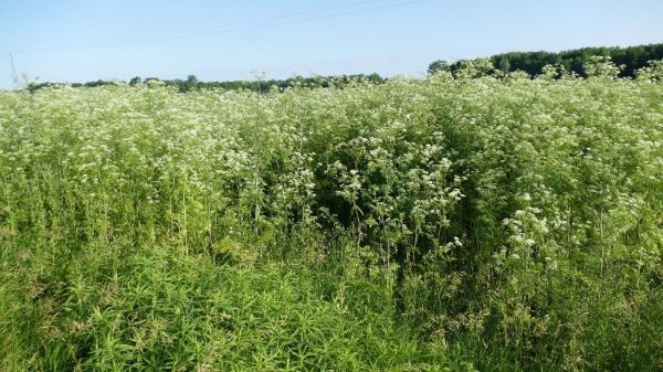 A patch of 8-foot tall poison hemlock plants, identified by lacy foliage and whitish flowers.