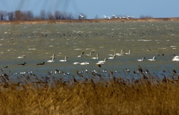 Swans on wetland lake