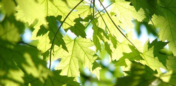 Green maple leaves backlit by sunshine