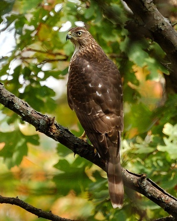 a brown and tan Cooper's hawk perched in a leaf-filled tree, looking to its left