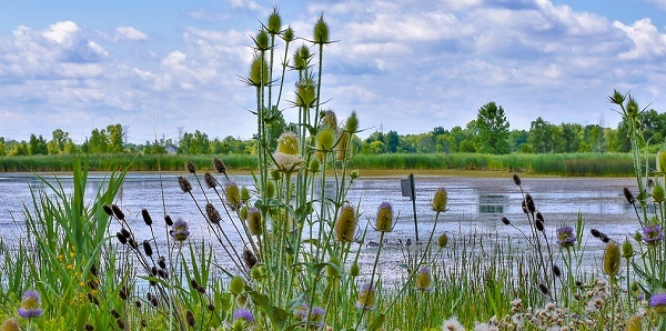 purple and green wildflowers dot the shoreline of a marshy area, blue sky and clouds above