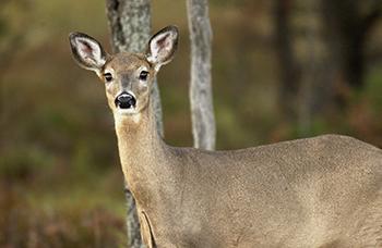 antlerless whitetail deer in forest