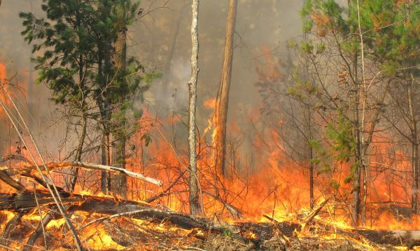 A wildfire burns in a forest setting, climbing small trees