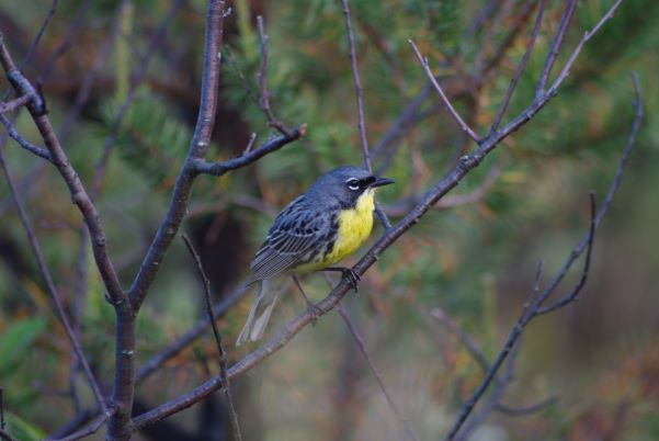 A grey Kirtland's warbler bird with a yellow belly perches on a branch in the forest