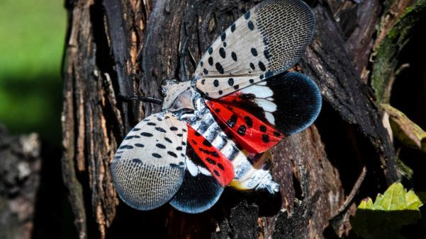 Closeup image of a colorful spotted lanternfly on a branch whose open, red-and-white spotted wings reveal a striped white body.