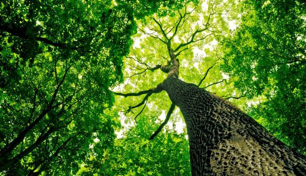 A photo of a tree trunk and dense, deciduous green canopy taken from the perspective of the forest floor