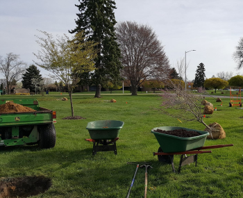 Wheelbarrows, shovels and mulch are at the ready for planting of burlap balled trees.
