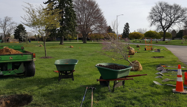 Wheelbarrows, shovels and other equipment are pictured in a park with trees ready to plant