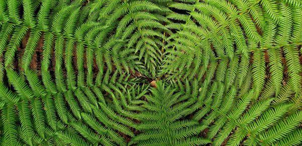 A photo of a geometric-looking, bright-green fern, taken by Liffey Falls