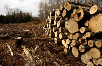 Stacked logs from an aspen harvest on Michigan state forest land