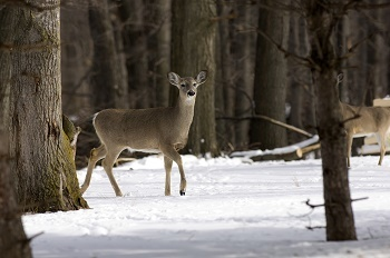 a tan and white deer stands in the snow among trees, with another deer not fully pictured to the right