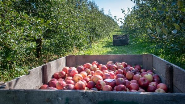 A wooden box of red apples in a green orchard