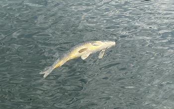 a dead, silvery common carp floats on the surface of dark water, in Lake Orion, Oakland County