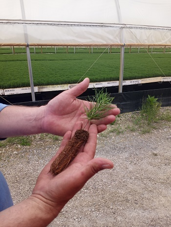 a man's hands hold a red pine seedling