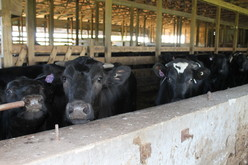 Maple Hill beef cattle