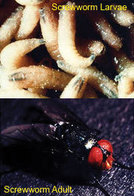 New World screwworm larvae and adult fly photos