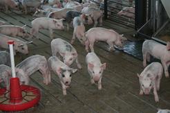 Pigs inside a barn.
