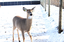 Deer in enclosure