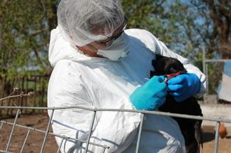 Veterinarian examining bird for avian influenza