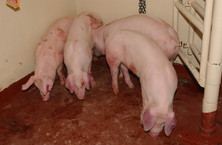 Pigs in a holding pen