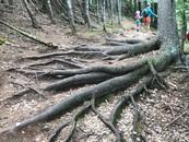 tree roots lutsen