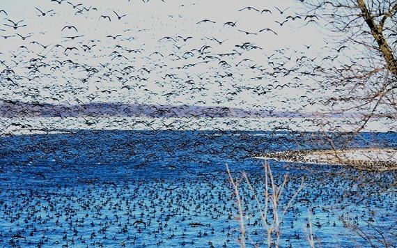 waterfowl landing at lac qui parle