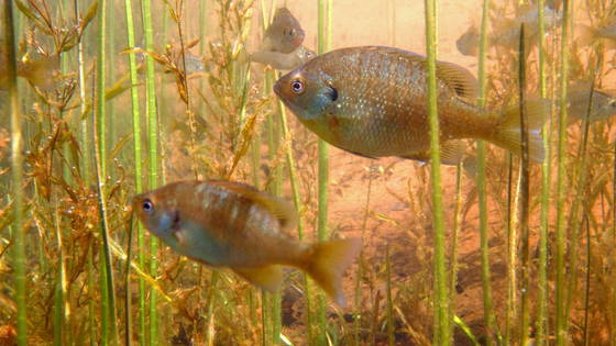 aquatic plants with bluegill
