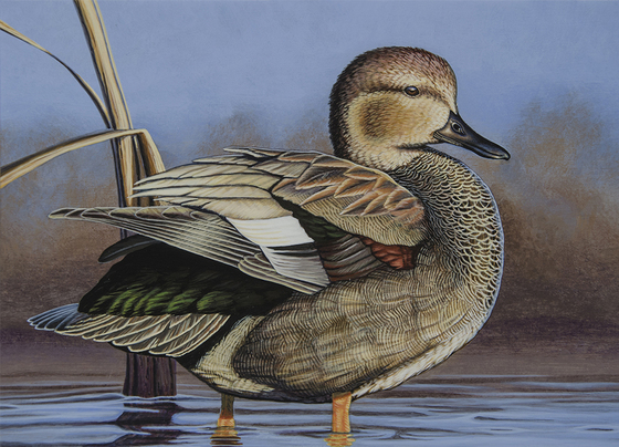 A painting of a gadwall