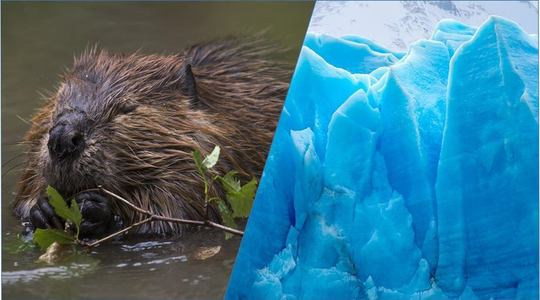 Beavers and glaciers