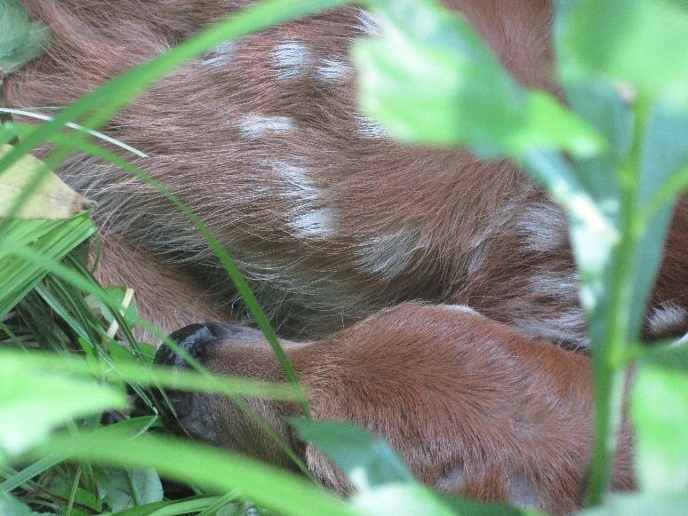 a sleeping fawn