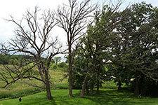 bur oak dying from stree